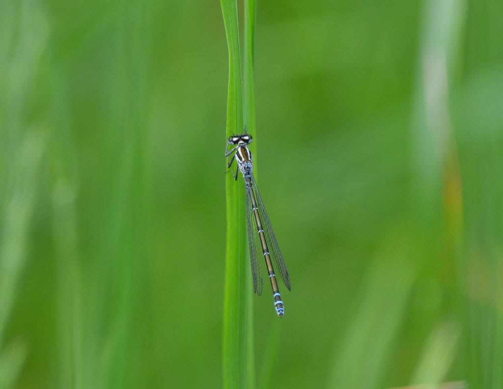Hufeisenazurjungfer Coenagrion puella